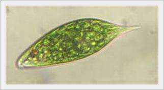 ミドリムシ 虫ではない 食品 栄養素 効果 癌 効果