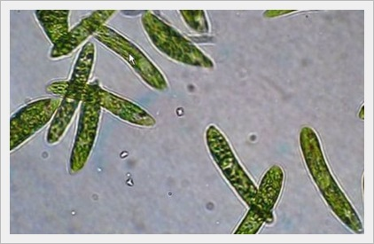 ミドリムシ 虫ではない 食品 栄養素 効果 癌 食べれる