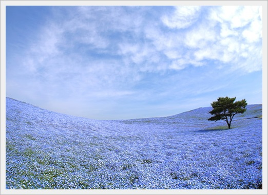 ネモフィラ畑のおすすめスポット7選!関東・関西別に見頃時期も3